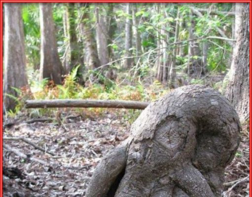 Entre los árboles más curiosos del mundo destaca este que parece un pulpo de verdad .