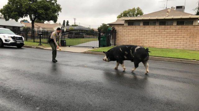 La policia captura un cerdo con doritos
