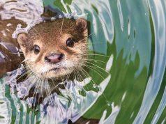 El peligro de las nutrias agresivas de Florida