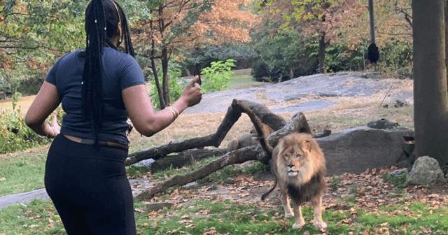 Salta la valla del zoo y baila junto a un león