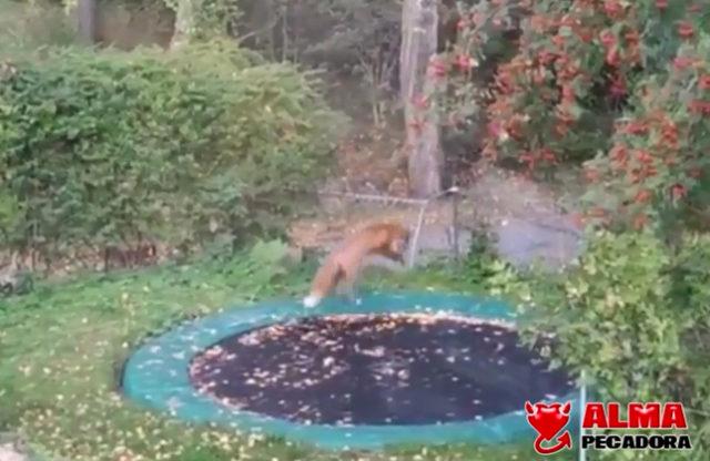 Un zorro descubre lo divertido que es saltar en una cama elástica